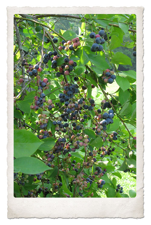 More Blueberries